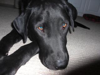 Reagen, my 4 year-old Black Labrador.